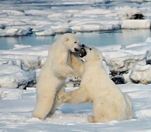 Polar_Bears_Play_fight -